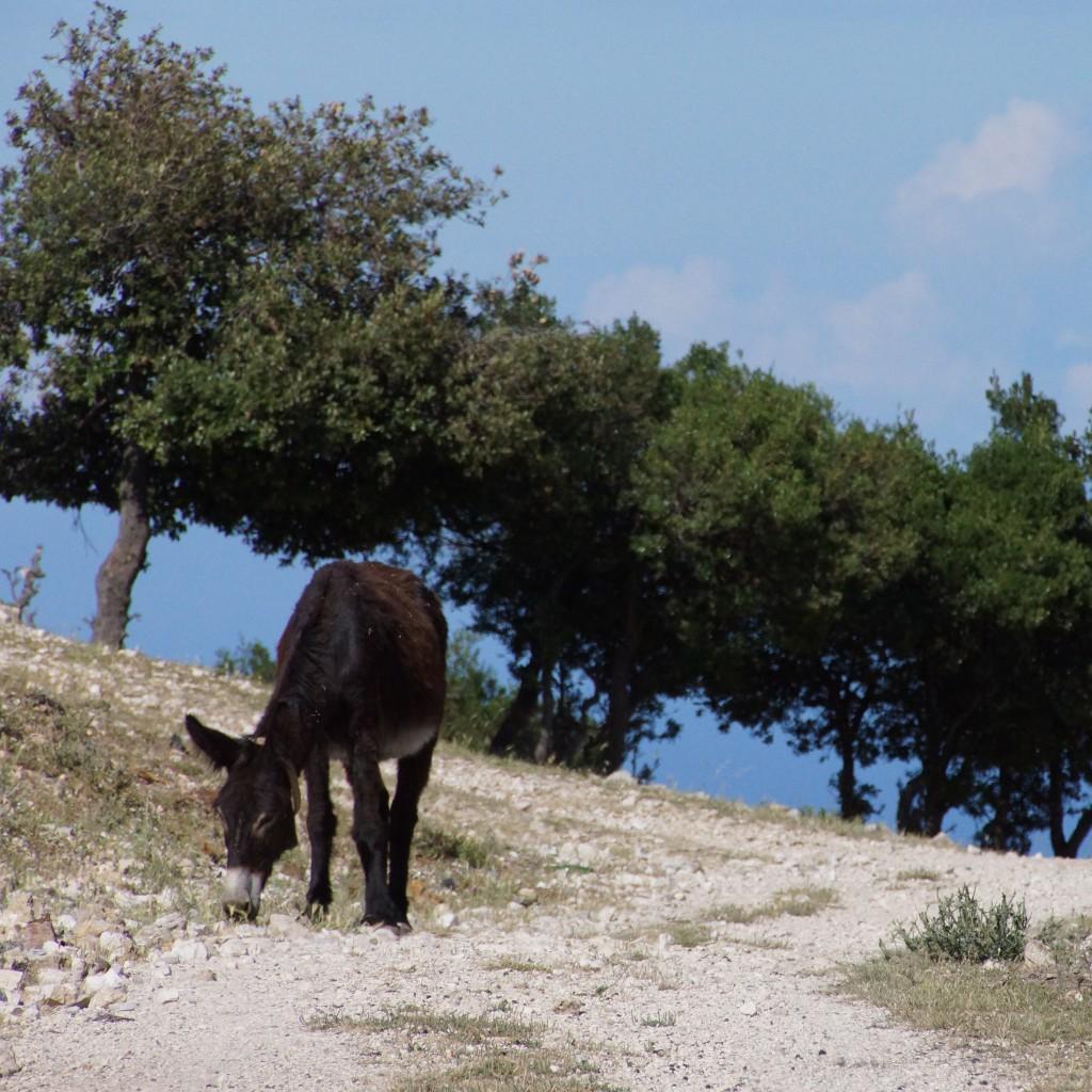 Gargano Donkey